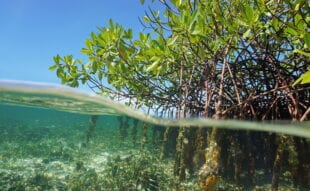 Mangroves under the water